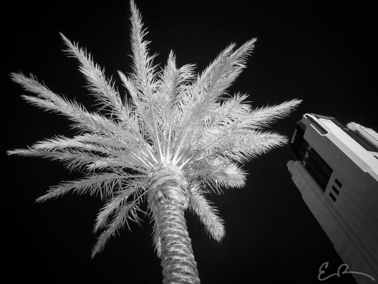 Smith Center Palm in Infrared