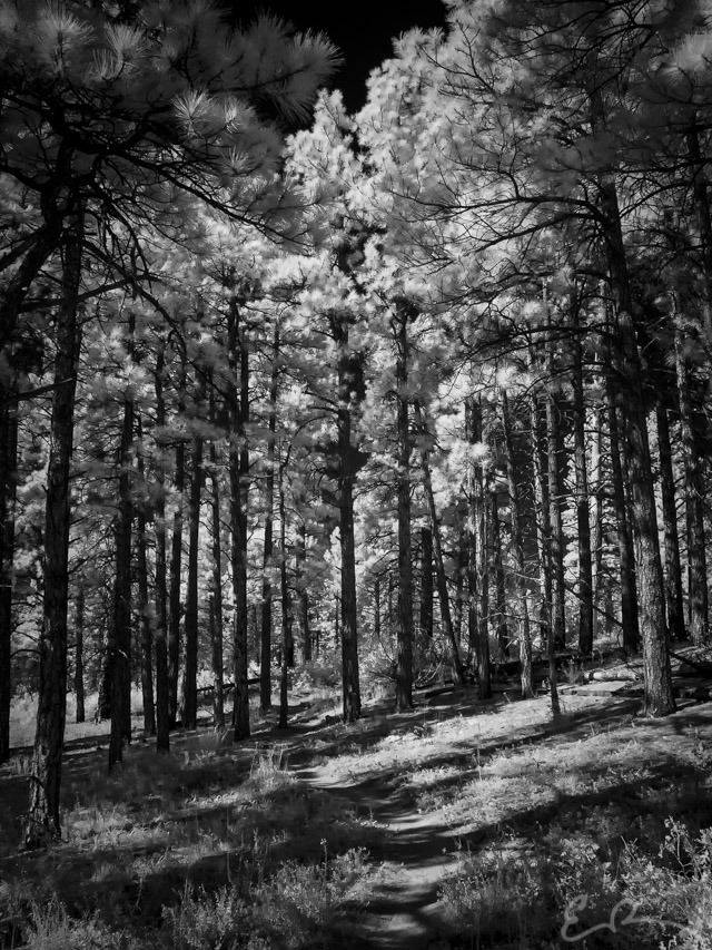 Through the Trees in Infrared