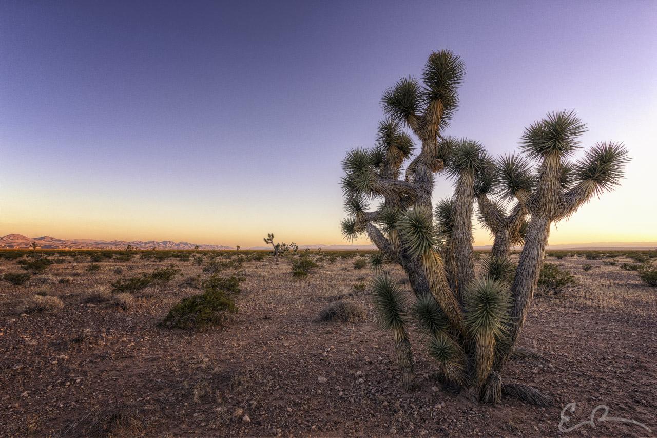 Desert Joshua