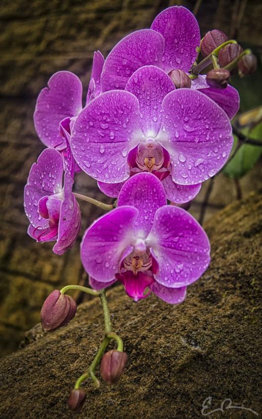 Arboretum Orchid