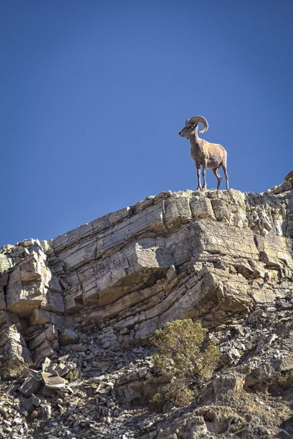 Desert Bighorn II