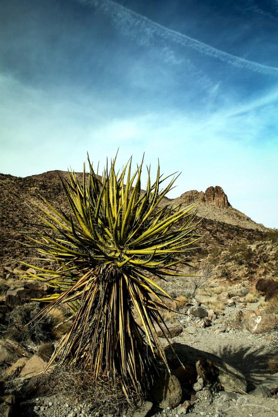 Sloan Yucca